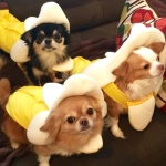 3 special chihuahuas, Giuseppe, Piper and Sunflower owned by the Gorski Family, Philadelphia