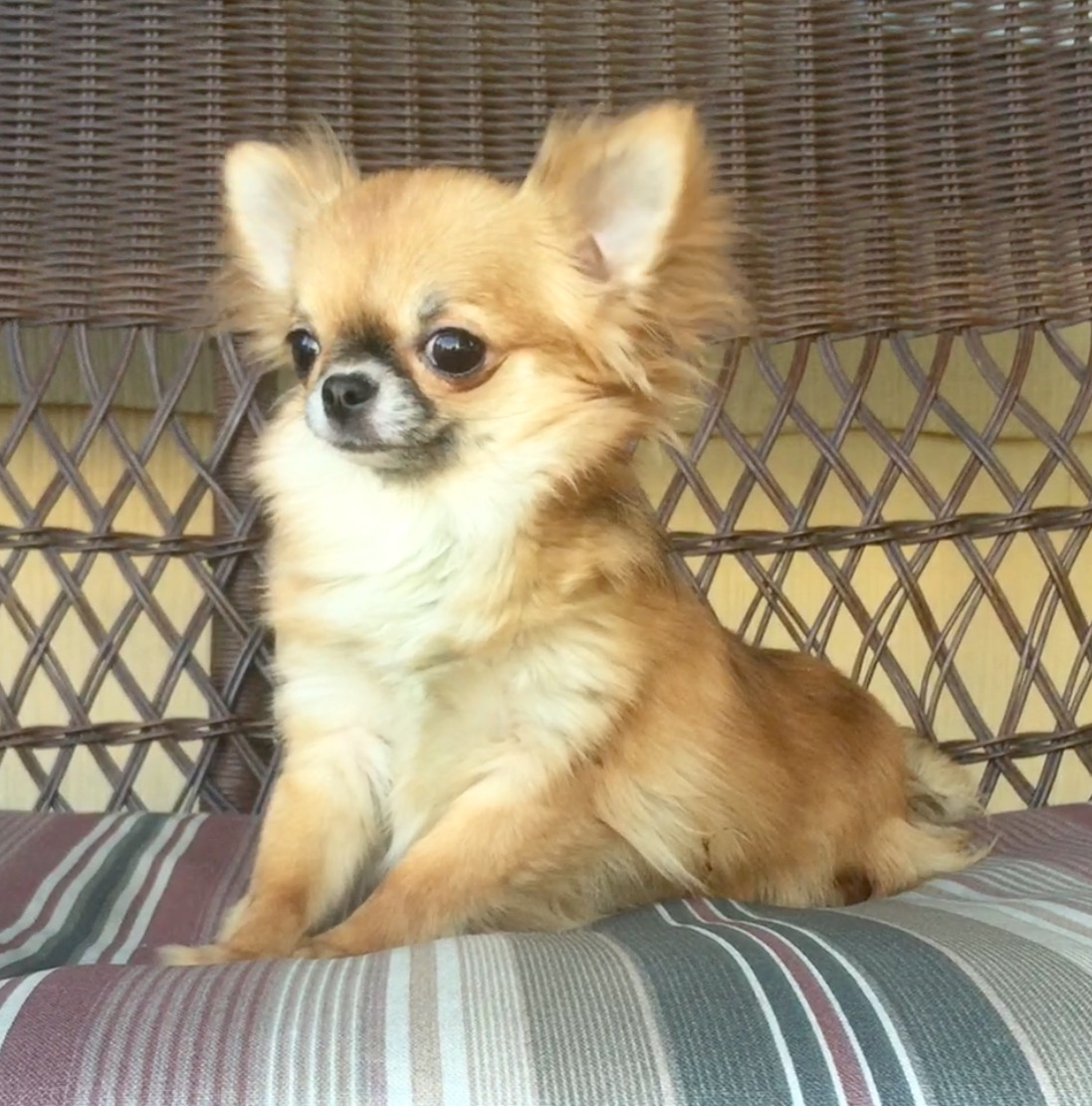 Chihuahua Dog Shows